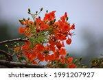 delonix regia in the park garden   Shutterstock . vector #1991207927