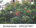 delonix regia in the park garden   Shutterstock . vector #1991207987