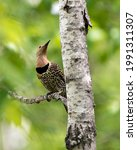 Small photo of Northern Flicker perched on a branch with green blur background and looking towards the sky in its environment and habitat surrounding during bird mating season. Flicker Image. Picture. Portrait.