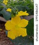 Sponge Gourd Flower. Yellow...