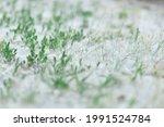 White fluff lies on the green grass, concept poplar allergy.