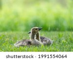 Two Canada Goose Goslings Lying ...