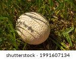 Mushroom Puffball  Lycoperdon...