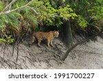 Adult Female Bengal Tiger...
