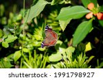 Garden Commodore Butterfly  ...