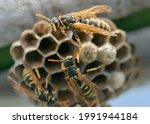 European wasp  vespula...