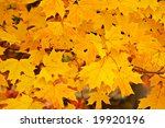 colorful autumn maple leaves  ... | Shutterstock . vector #19920196