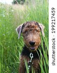 Small photo of Airedale Terrier puppy on the leash in green grass, outdoor