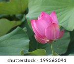 a pink lotus in fields | Shutterstock . vector #199263041