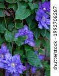 Clematis  Multi Blue. Flower...