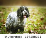 Small photo of american english cavalier king charles spaniel outdoors
