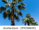 Palms Washingtonia Filifera...