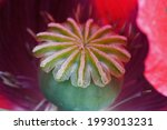 Crowned Green Seed Pod Inside A ...