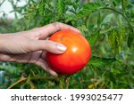 Ripe Red Homegrown Tomato In...