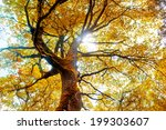 Beech Tree In Autumn. Nature...