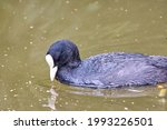 A Closeup Shot Of A Black Duck...