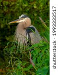 Great Blue Heron Standing By...