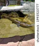Sunbathing Crocodile In The Zoo