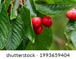 Red Ripe Cherry Berries On A...