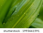 Wide Green Leaves With...