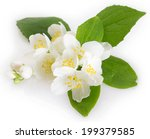fresh jasmine on white... | Shutterstock . vector #199379585