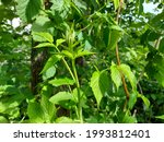 Raspberry Leaves Growing In The ...