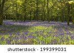 bluebell flowers in spring...