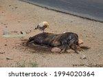 A Decomposing Cow Carcass Eaten ...