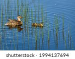 Mother Mallard Duck With Two...
