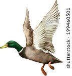 Male Mallard Duck Flying. Vector