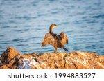 Great Cormorant Bird ...
