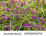 Small Purple Flowering...