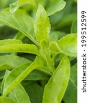 Small photo of Closeup leaves of green herb called Purple passion vine (Gynura sarmentosa DC.), Thailand