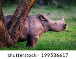 Young Rhino Behind The Tree