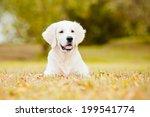 Stock photo golden retriever puppy 199541774