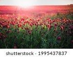 blooming fields of red crimson... | Shutterstock . vector #1995437837
