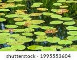 Beautiful Yellow Water Lily...