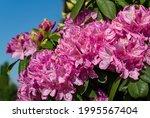 Rhododendron 'roseum Elegans' ...