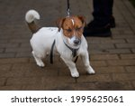 A Proud Try Colour Jack Russell ...
