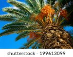 Palm Tree With Fruits On A...