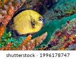 Small photo of Damselfish Headband Humbug Dascyllus reticulatus Coral Reef Lembeh North Sulawesi Indonesia Asia