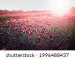 blooming fields of red crimson... | Shutterstock . vector #1996488437