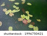 Water Lily  Nymphaea  Leaves...