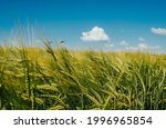Spikelets Of Wheat In Field On...