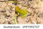 Green Wild Squirrel Treefrog  ...