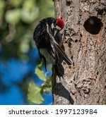 Acorn Woodpecker Preening while perched in tree, American River Parkway, Sacramento CA