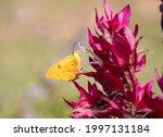 Phoebis Philea  A Butterfly...