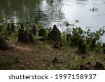 Young Bald Cypress Roots...