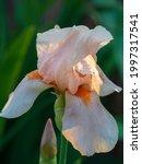Pink Iris Flower. Close Up View ...