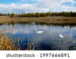 Beautiful Swimming Swans With...